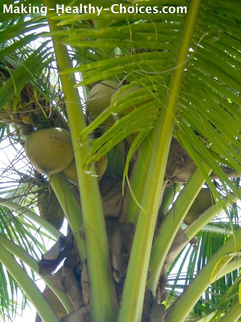 Coconut Laden Tree
