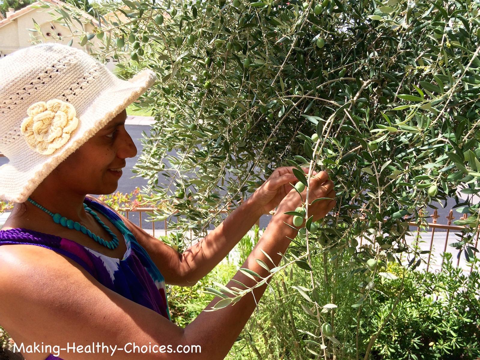 Harvesting Olive Leaves