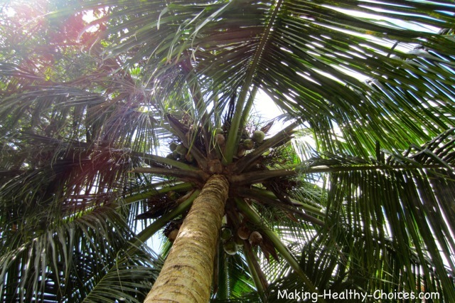 Coconut Palm Canopy
