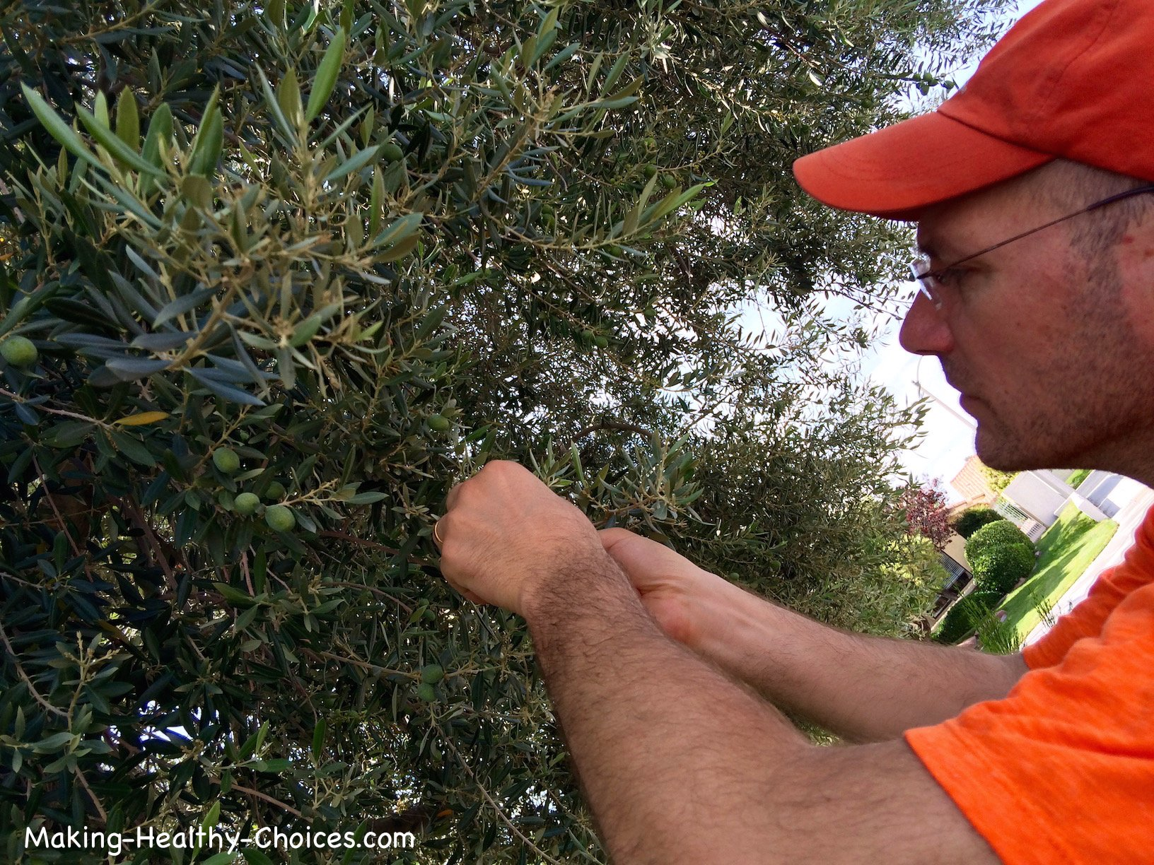 Harvesting Olive Leaves